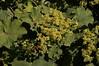 Frauenmantel - lady's mantle - Alchemilla (picccus) Tags: alchemilla frauenmantel ladysmantle alchémille alquimila
