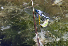 Western Pondhawks -- Coupled Pair (Erythemis collocata); Albuquerque, NM, Tingley Beach Park [Lou Feltz] (deserttoad) Tags: nature insect pond park dragonfly pondhawk odonate sex mating newmexico