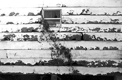 100_9249 2 (Rhinoface2) Tags: blackandwhite plants window monochrome wall louisiana shed vine weathered peelingpaint blackandwhitephotos