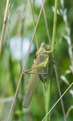 cricket 469 (594) (Baffledmostly) Tags: france cricket brehemont