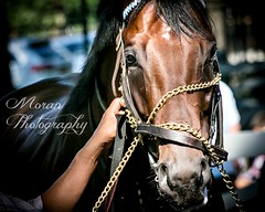 The Big Beast (EASY GOER) Tags: summer vacation horses horse ny newyork sports beauty race canon athletics track saratoga competition upstate running racing course event 5d ponies athletes tradition races sporting spa thoroughbred equine exciting thoroughbreds markiii