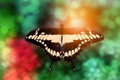 Butterfly (Delbrücker) Tags: macro butterfly bokeh makro schmetterling nikkor105mm nikond610