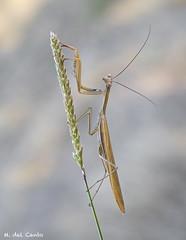 coqueta (gatomotero) Tags: olympusomdem1 mzuiko60 mantis nature ambiente posado carita bokeh