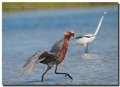 Reddish Egret (Betty Vlasiu) Tags: reddish egret egretta rufescens bird nature wildlife florida