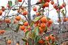 Diospyros kaki-32 (Tree Library) Tags: japanesepersimmon diospyroskaki