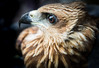 Black kite (Tropidonophis mairii) (stephanietodd2) Tags: olives birds raptors