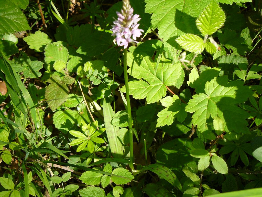 Dactylorhiza maculata- Geflecktes Knabenkraut_03