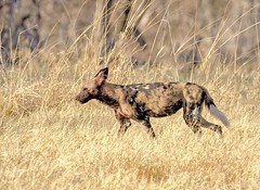 Wild Dog (rogerfscott) Tags: african wild dog hunting painted lycaon pictus canid subsaharan africa cape outdoor animal khwai moremi botswana okavango endangered