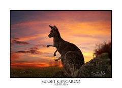Sunset Kangaroo Australia (sugarbellaleah) Tags: sunset kangaroo australia outback australiana animal wildlife mammal joey easterngreykangaroo hopping macropusgiganteus clouds vivid red orange yellow furry rocks nsw centralwestnsw watching looking evening native outdoors sky sundown wyangala
