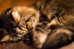 117/365v3 - Who's Had Too Much Christmas Pud? (Mark Seton) Tags: fluffy cat elijah
