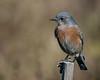 Western Bluebird (f) (Becky Matsubara) Tags: bluebird westernbluebird sialiamexicana hamiltonwetlands baytrail bird birds