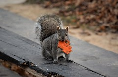 My pumpkin (marensr) Tags: squirrel pumpkin outdoor eating nature mammal animal orange welles park chicago