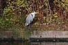 Frederiksberg Gardens, Copenhagen (JohntheFinn) Tags: bird lintu kööpenhamina harmaahaikara greyheron ardeacinerea europe eurooppa denmark tanska heron haikara