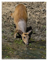 Barking Deer - Quenching the mid day thirst (Shanaka Kalubowila) Tags: barking deer wilpattu national park sri lanka shanaka aravinda kalubowila safari lankan island wildlife photography paradise badgerr beautiful honey heaven holiday tour travel wilpaththu asian amazing asia animals nature forest jeep jungle nikkor nikon d7100 afs 300mm f28g vrii muntiacus muntjak malabaricus life young water mud shy outdoor photo border srilanka watching wild wilderness wonder walk tree trees trip touring rare ceylon camp green grass