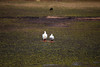 IMG_3655 (FelipeDiazCelery) Tags: sanpedro sanpedroatacama sanpedrodeatacama desierto altiplano atacama andes chile fauna aves valledelaluna
