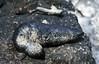 Black sea cucumber (Holothuria atra) (SteveInLeighton's Photos) Tags: 1983 april ilfochrome transparency thailand kohlarn seacucumber chonburi kolan