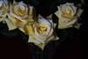 DSC_4222 Roses (PeaTJay) Tags: nikond750 reading lowerearley berkshire macro micro closeups gardens indoors nature flora fauna plants flowers bouquetofroses rose roses rosebuds
