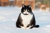 (nettisrb) Tags: cat katze chat kat kitty feline felino felin gatti kot kotka kedi hauskatze
