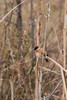 stonechat (mal265) Tags: rspb old moor stonechat ngc