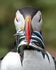 Puffin (oddie25) Tags: canon 7d 100400mm skomer puffin seabirds pembrokeshire wales bird fish sandeels nature wildlife
