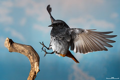 Colirrojo Tizón (www.jorgelazaro.es) Tags: ocells colirrojotizón aves buztangorriiluna turdidae pluma rabirrubio phoenicurusochruros pico naturaleza pájaro fauna autòctones blackredstart cotxafumada