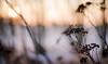 (jakub.sulima) Tags: nikon d7000 nikkor 50mm 18 winter wonderland poland plant flower flowers fleur flora flores serene sun sunlight sunset sunshine goldenhous dof depthoffield evening cold colours pastel delicate brown orange yellow black gold golden white pink nature wild wildlife freeze frozen snow outside outdoor