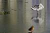 Ijsmeester op de Hofvijver (Roel Wijnants) Tags: roelwijnants roelwijnantsfotografie roel1943 vogels zwaan eend ijsmeester onderhoud koud winter ijs vriezen wandelen fietsen mooidenhaag wandelvondst haags haagspraak hofstijl absolutelythehague vriendenvandehofvijver