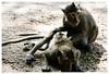 Angkor Wat (tote_nos) Tags: cambogia cambodia canon canon5d reflex viaggio trip oriente honeymoon vietnamcambodia 2016 october backpacking backpack backpacker east monkey animals fleas angkor wat angkorwat