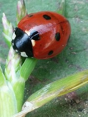 miss ladybug (Lizzy knox) Tags: macro insecte insect coccinelle ladybug nature naturelover photo beautiful