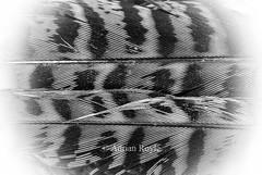 _DSC6819 (Adrian Royle) Tags: lincolnshire wolds bimble walk nature macro nikon feather