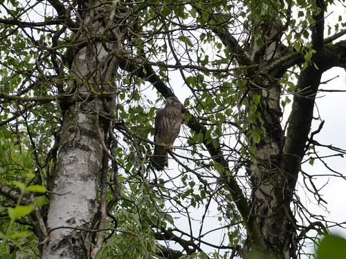 Turmfalke im Baum (06.06.2015)