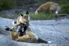 Take that (chrisdx3) Tags: playing nature wildlife fox kits grandteton redfox grandtetonnationalpark babyanimals foxkits