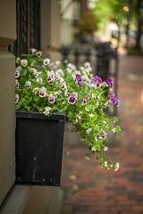 M1009945 (sswee38823) Tags: beaconhill flowers bokeh city boston bostonma newengland street leica leicam leicamtype240 leicacamera aposummicron aposummicron50 aposummicronm1250asph apo leicaapo502 leicaaposummicronm50mmf2asphfle leicaaposummicronm50mmasph leicaaposummicronm90mmf2asph aposummicron50mmf2