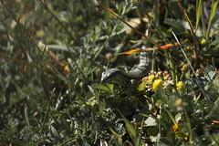 Lagarto entre flores (Garimba Rekords) Tags: animal verano aire lagarto libre euskadi vitoriagasteiz reptil euskal herria humedal salburua