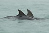 Dolphins (Shane Jones) Tags: nikon dophins 200400vr d7000