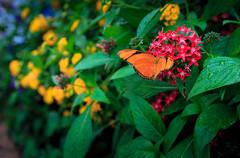 In The Butterfly Garden:  Dryas iulia (Scott Smith (SRisonS)) Tags: epcot florida waltdisneyworld orangebutterfly lakebuenavista flowergardenfestival butterflygarden dryasiulia juliabutterfly juliaheliconian