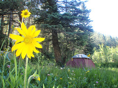 Campsite Beauty (halseike) Tags: camping trees green pine forest outdoors colorado gorgeous palmer tent sunflower campsite rampart