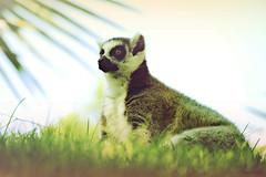Real wildlife (Viiolet Rose) Tags: africa wild cute green valencia animal animals colours natural bright eagle wildlife natura lemur aguila meerkats suricato bioparc lémur rayleon