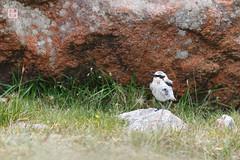 Rock Wheatear (Rhapsody-In-Blue) Tags: bird nature birds animal wildlife birdwatching oiseau shetland oiseaux birdwatch wheatear birdportrait eshaness ornithologie ornitho northmavine rockwheatear