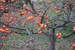 Diospyros kaki-39 (The Tree Library (TreeLib.ca)) Tags: japanesepersimmon diospyroskaki