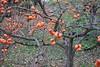 Diospyros kaki-39 (Tree Library) Tags: japanesepersimmon diospyroskaki