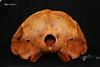skull 2 occiput (JRochester) Tags: rissos dolphin grampus griseus skull nmsz199377
