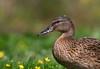 Ente auf der Wiese (Anja van Zijl) Tags: duck ente ducks eend animal tier animals natur natuur nature