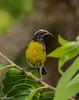 Sucrier à ventre jaune (wpierre48) Tags: oiseau sucrier guadeloupe