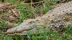 South Africa 2016 (astrabaer8283) Tags: stlucia crocodile southafrica water nature saintlucia kwazulunatal südafrika za