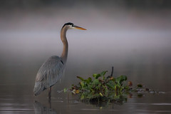 Blue Still Life (gseloff) Tags: greatblueheron bird dawn fog mist wildlife armandbayou pasadena texas kayakphotography gseloff