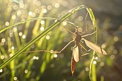 Bokeh - natürlich (nirak68) Tags: 2016ccarlasblick tautropfen dewdrops gras insekt tier schnake 52wochenfotochallenge bokeh jugendkindfotografiert