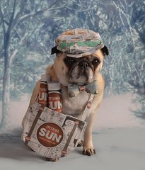 Bailey Puggins the Newsie (DaPuglet) Tags: pug pugs dog dogs animal animals pet pets newspaper ottawasun ottawa ontario costume cute funny homemade outfit newsie news sun sunshinegirl