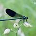 Calopteryx splendens (Harris, 1780) ♂ (Marcello Consolo) Tags:
