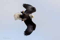 Eye on Target (david.horst.7) Tags: eagle bird baldeagle flight wildlife nature